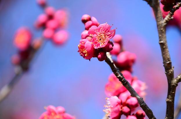 梅林の紅梅