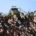 写真: 梅の花に浮かぶ天守閣