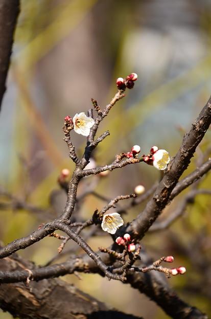 単弁跳枝(タンベンチョウシ)