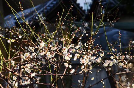 大阪天満宮の白梅