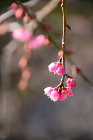 司枝垂(ツカサシダレ)