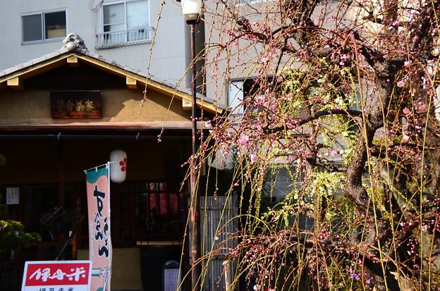 星合茶屋前の枝垂れ梅
