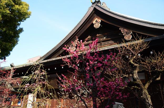大阪天満宮の枝垂れ梅