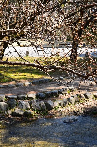 出水の小川南端の白梅