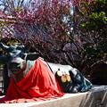 Photos: 牛さんにも梅の紋~