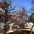 Photos: 北野天満宮梅苑
