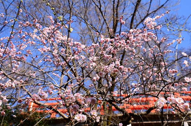 ピンクの枝垂れ