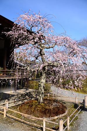 多宝殿前の枝垂れ梅