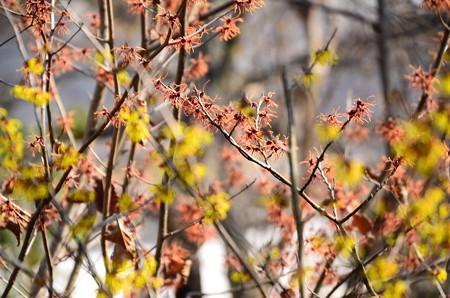 赤花満作(アカバナマンサク)
