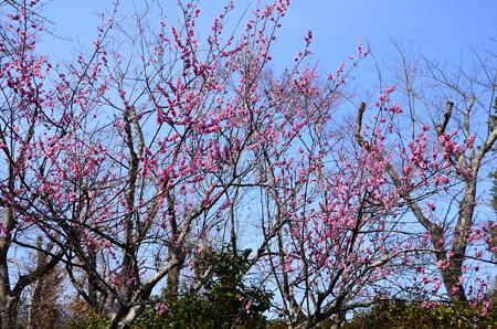 百花苑の紅梅