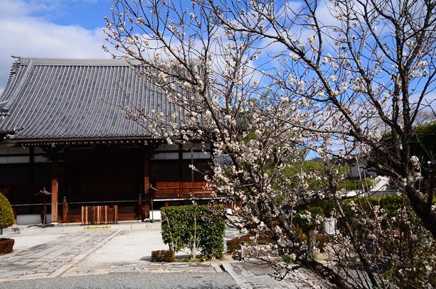 阿弥陀寺の唐実桜