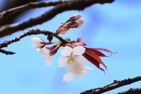 いち早く山桜~
