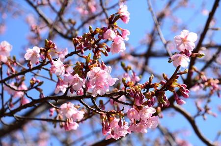 修善寺寒桜(シュゼンジカンザクラ)