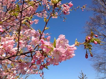 紫明せせらぎ第五公園の河津桜