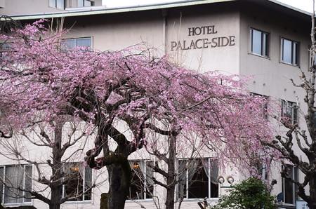 平安女学院・有栖館の枝垂れ桜