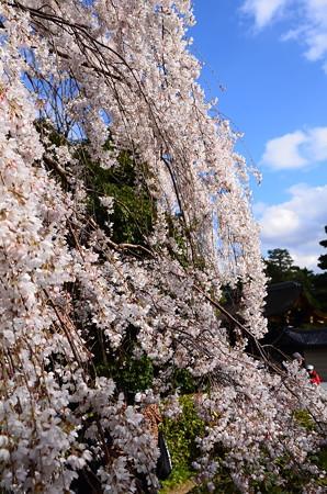 近衛邸跡南の糸桜