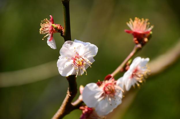 友禅苑の梅