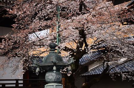 宥清寺の染井吉野(ソメイヨシノ)