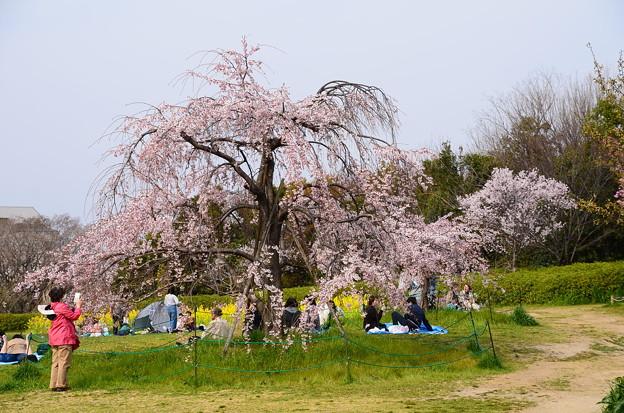 満開の枝垂れ桜