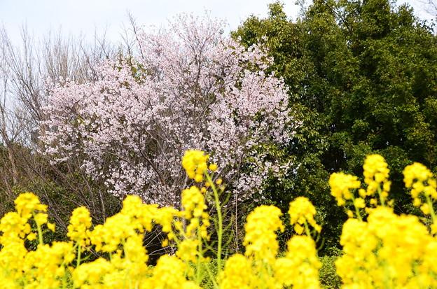 菜の花と小彼岸