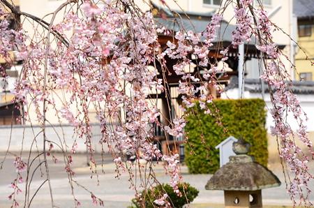 智恵光院の枝垂れ桜