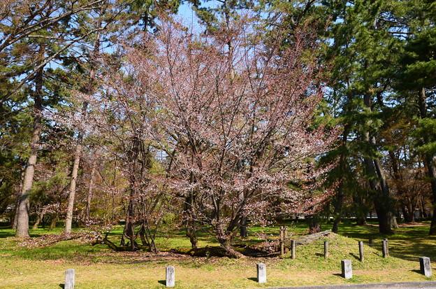 御苑の桜松