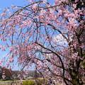 Photos: 半木桜(ナカラギザクラ)