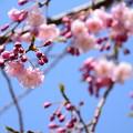 Photos: 半木の道の八重紅枝垂れ(ヤエベニシダレ)