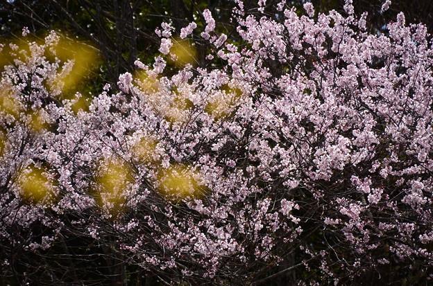 山茱萸の向こうの江戸彼岸(エドヒガン)