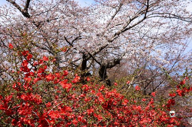 木瓜と染井吉野(ソメイヨシノ)