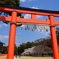 Photos: 鳥居の奥の御所桜