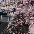 Photos: 紫竹小学校の八重紅枝垂れ
