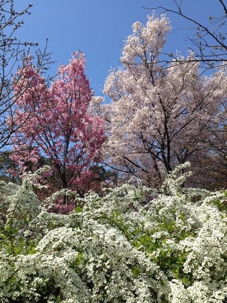 陽光と越の彼岸桜(コシノヒガンザクラ)