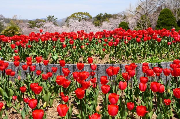 チューリップと桜の植物園