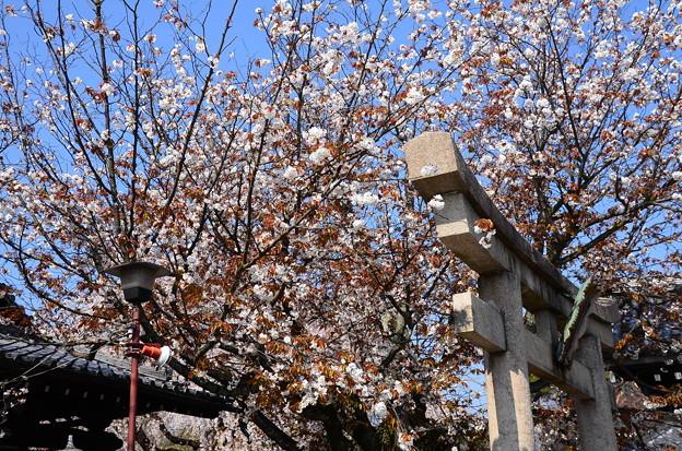 山桜も満開~