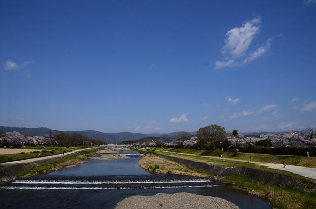 桜の賀茂川