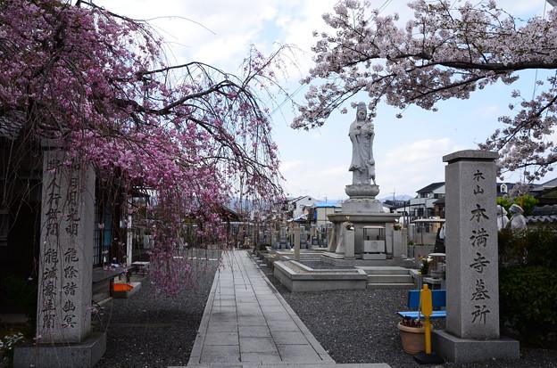 墓地入口の八重紅枝垂と染井吉野
