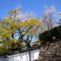 栄攝院の桜