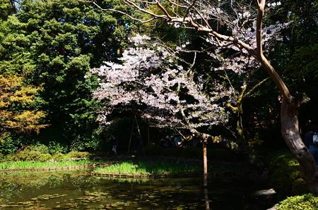 白虎池の染井吉野
