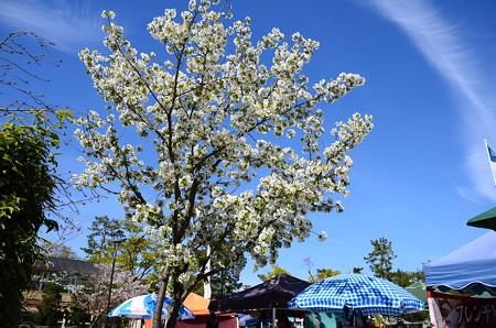 岡崎公園の大島桜
