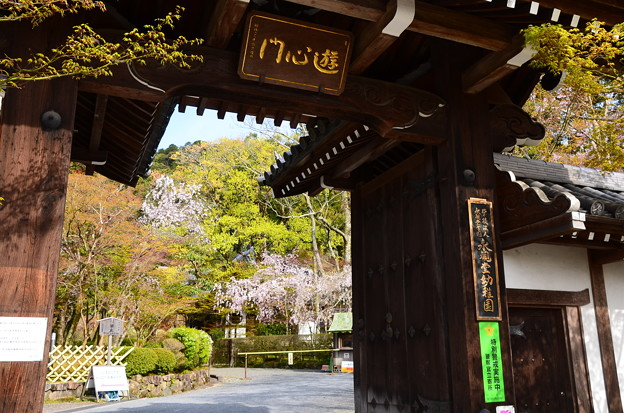 Photos: 桜の永観堂