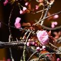 Photos: 咲き始めた関山(カンザン)