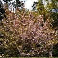 Photos: 大龍桜(ダイリュウザクラ)