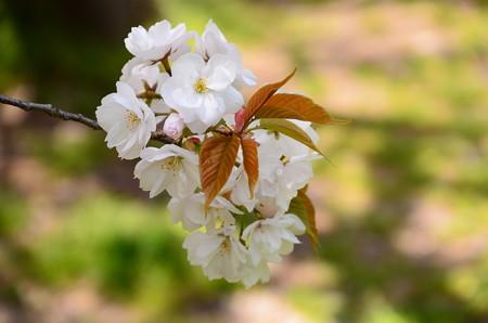 出水広場の桜 2