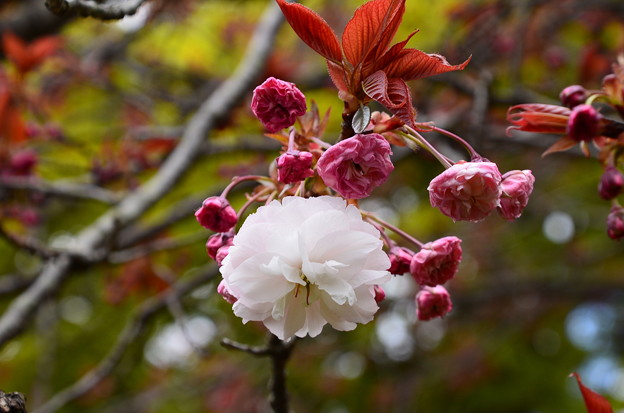 咲き始めた普賢象(フゲンゾウ)