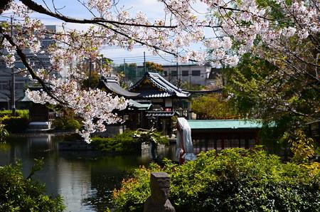 染井吉野咲く神泉苑
