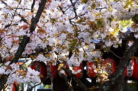 観音桜(カンノンザクラ)