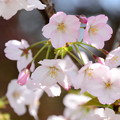 Photos: 八房桜(ヤツブサザクラ)