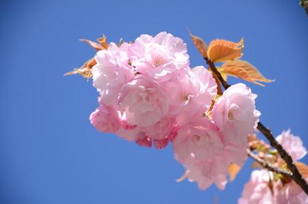 本殿前の八重桜