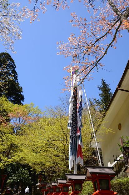 山桜と鯉のぼり